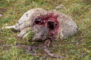 tapetud-lammas-hunt-2
