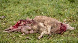 tapetud-lammas-hunt-6
