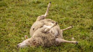 tapetud-lammas-hunt-8